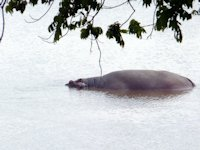 Mother & 4 Day Old Hippo
